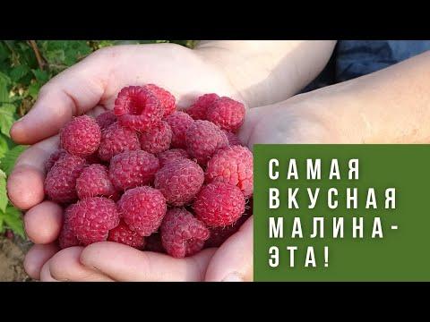 Вопрос: Какие лучшие сорта красной ранней малины?