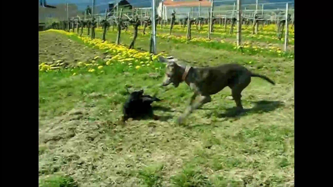 Dogs Run In The Vineyard Miniature Pinscher Vs Weimaraner Youtube