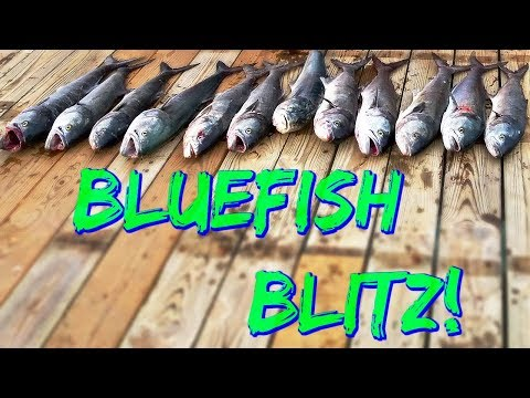 Chopper Bluefish Blitz On The King Rigs And Blues On Gotcha Plugs - Bluefish EVERYWHERE!