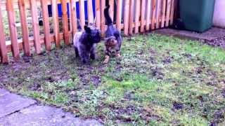 Cairn Terrier And Neighbor's Cat