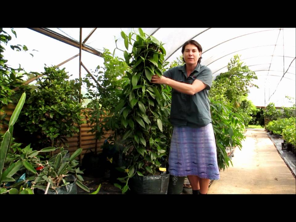 Vanilla vine orchid how to grow in a pot and keep for How to maintain garden plants