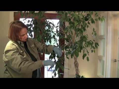 How to trim a ficus tree