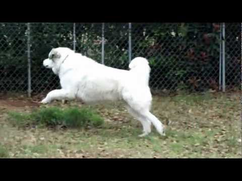 From Mou-Mou (Great Pyrenees): Securing backyard !?!?