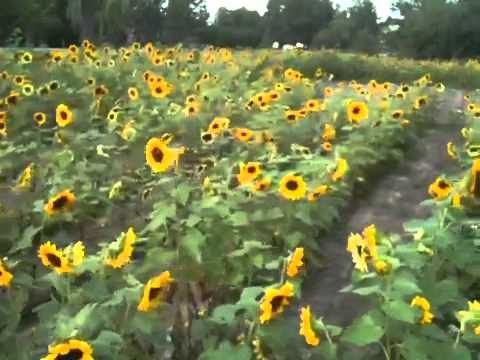10,000 sunflowers in bloom