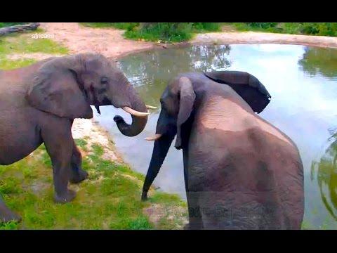 Природа Африки Заповедник Naledi Молодые слоны у водопоя выясняют отношения рядом с веб-камерой