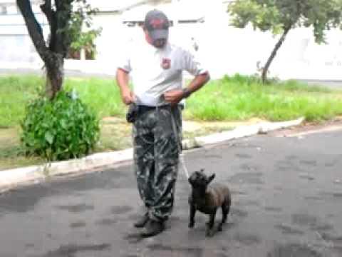 Obediência Básica com BullDog Francês