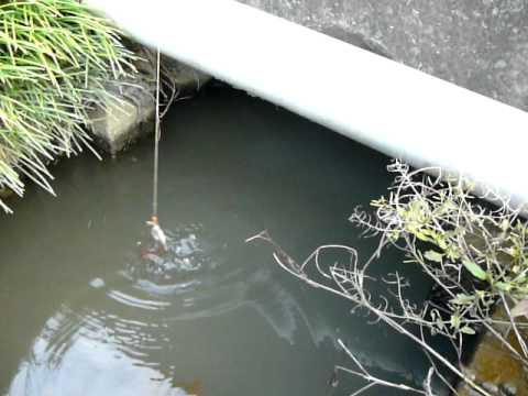 ザリガニ釣り Crayfish Fishing