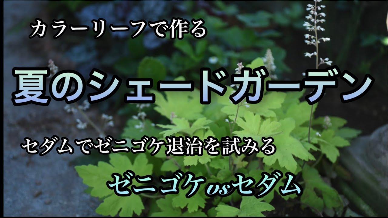 【シェードガーデン・夏の日陰の庭】リーフのお手入れとゼニゴケ退治&オススメの帽子と空調服