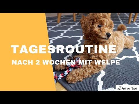 Tagesablauf Mit Welpe / Hund Nach 2 Wochen - Moki Der Zwergpudel