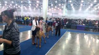 Eurasia-2013, Day One. Great Danes.