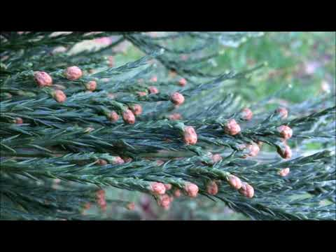 Giant redwood (Sequoiadendron giganteum) - male flowers - February 2018