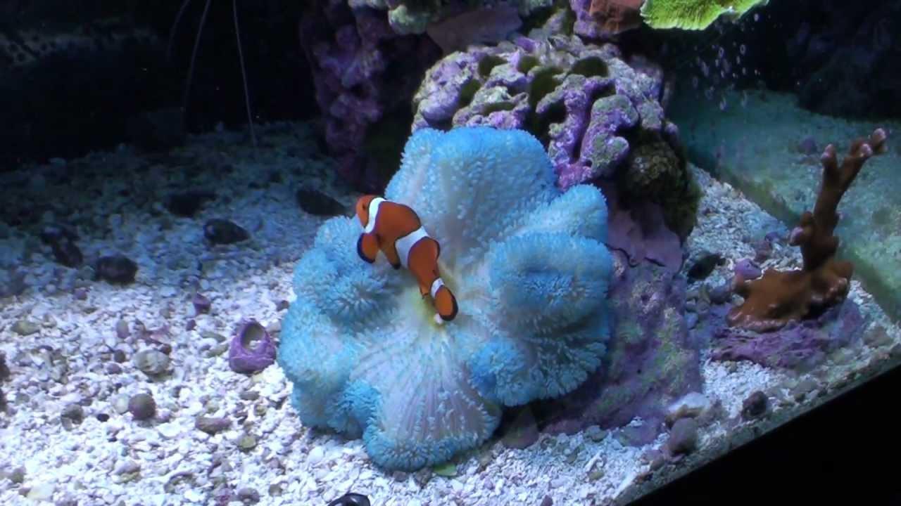 Salty Reefer Stichodactyla Haddoni Haddon S Blue