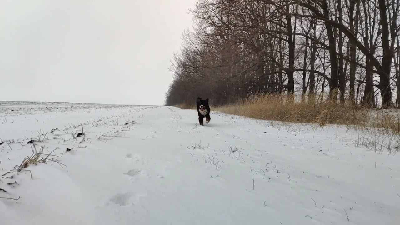 Бернская овчарка слоумо, bernese mountain dog slow mo