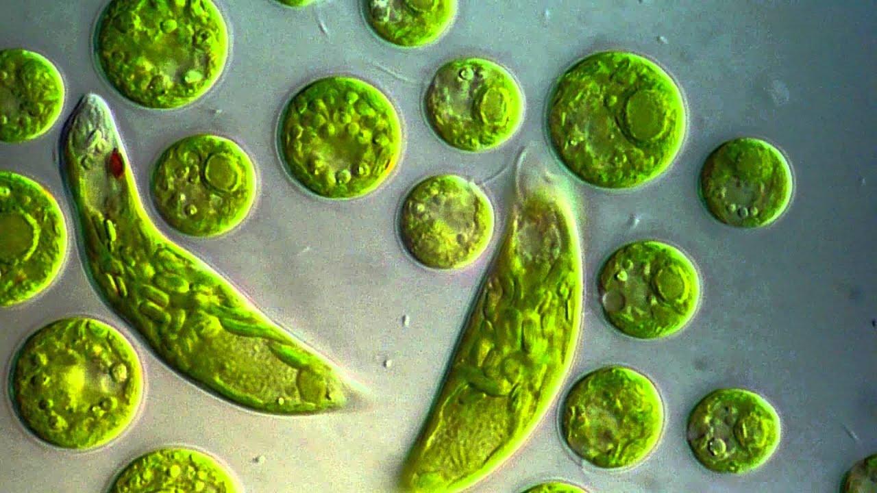 Chlamydomonas euglena viridis youtube ccuart Image collections