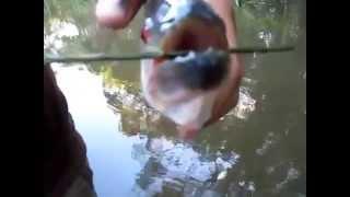 wood-eating piranha