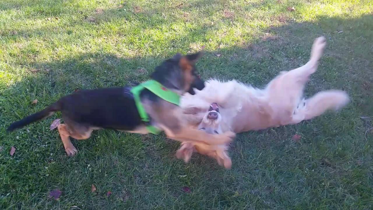Cute German Shepherd Puppy Wrestling With Golden Retriever Rolling