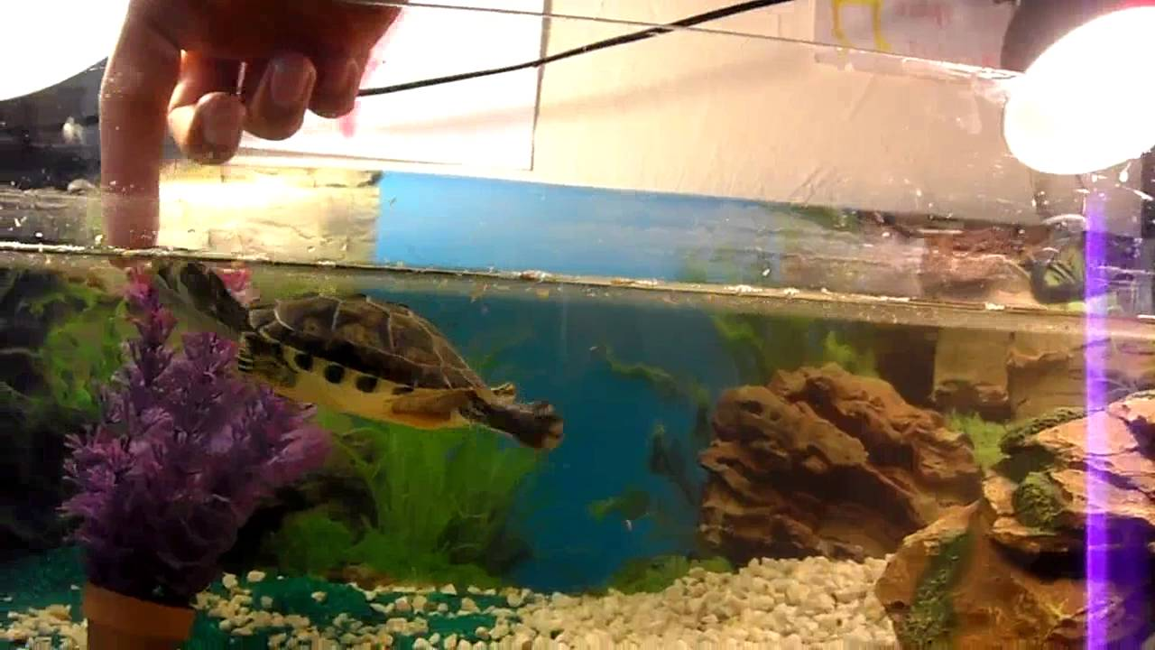 Tortue dans son aquarium youtube for Aquarium tortue