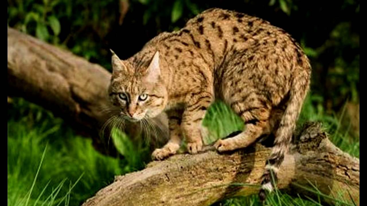Из рук в руки домашние животные в москве. Бенгальская кошка продажа котят и взрослых кошек в москве. Частные объявления с фото. Бенгальская кошка (бенгал) в москве: купить или взять в дар. Подай объявление в своём городе.
