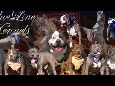 maga breeding going down at blue line kennels 2xs jalisco