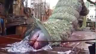 БАТМ .В трал вместе с минтаем попала Гигантская акула (Cetorhinus maximus) .