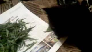 Кошка ест траву ))