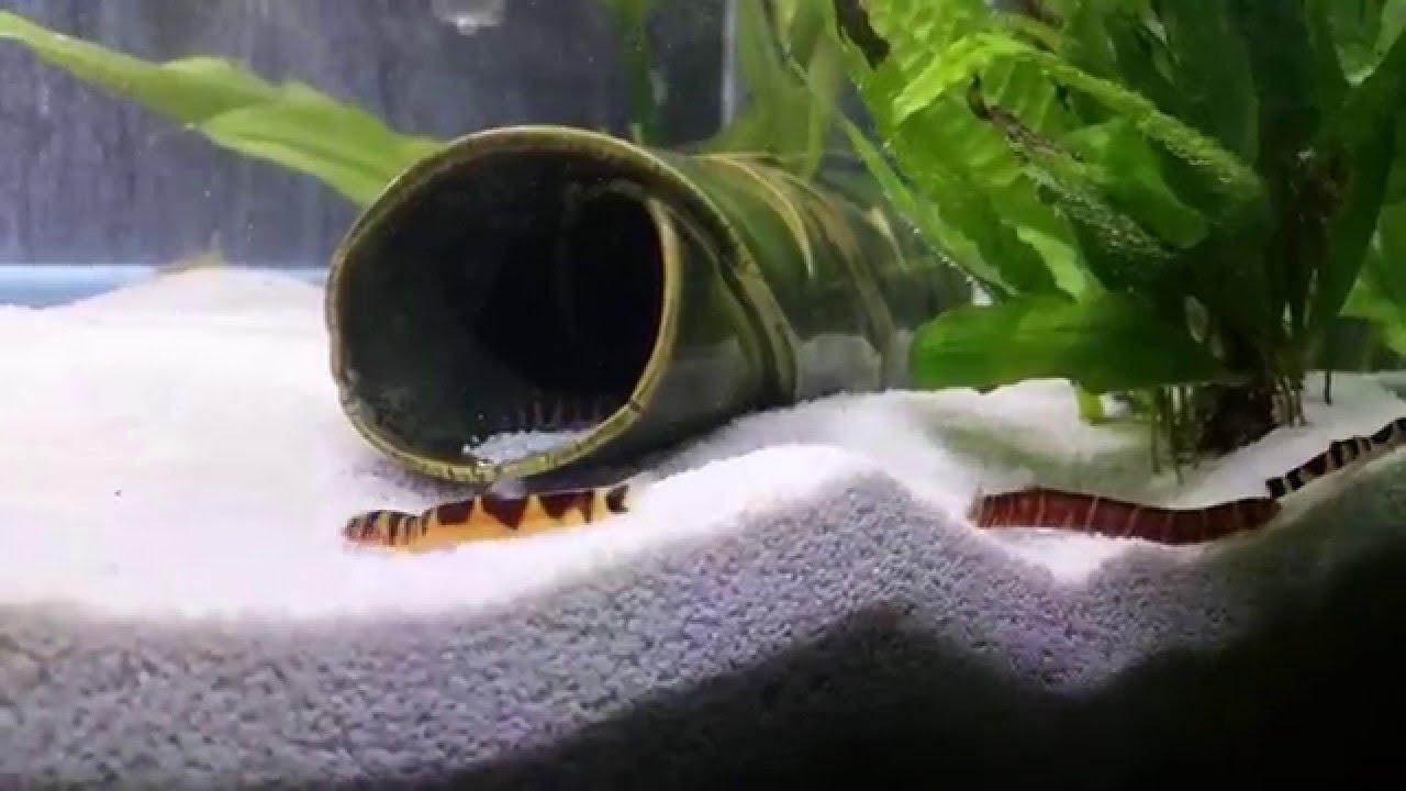 Freshwater aquarium fish loach - Kuhli Loaches Freshwater Community Aquarium