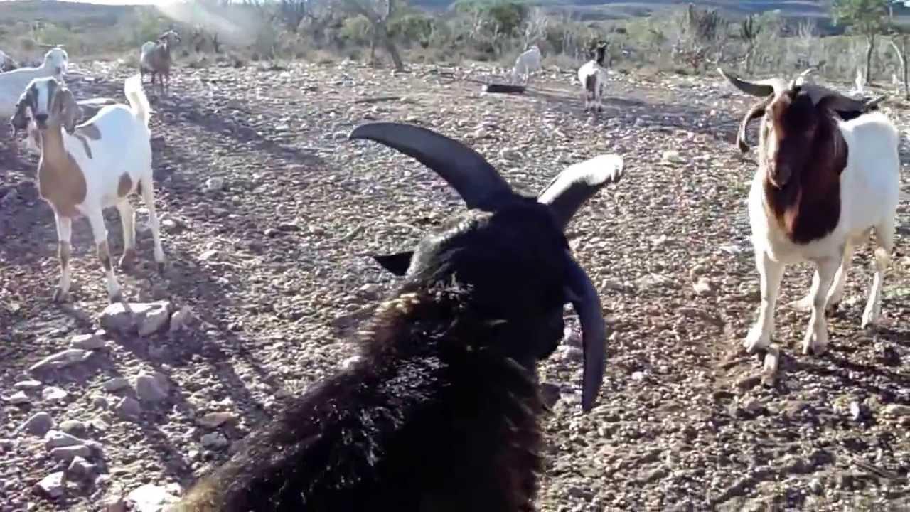 Bode assistindo à briga de cordeiros