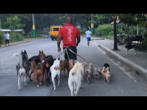 Stray Dogs Bark at Dog Walker