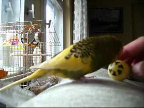 Dünyanın En Güzel Konuşan Muhabbet Kuşu Bicirikbudgie Youtube