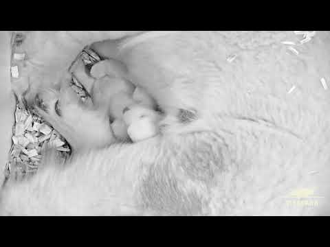 Josh Busch - Polar Bear Cub Cuddled By Mom