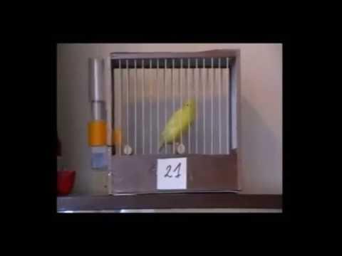 Download Lagu Burung Kenari Juara Dunia Dengan Harga Ratusan Jt, Kriterianya Seperti Ini,,,