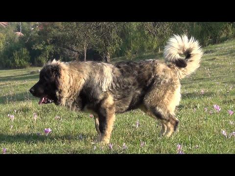 Caucasian Shepherd 6 months