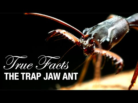 True Facts: Trap Jaw Ants