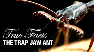 Download lagu True Facts: Trap Jaw Ants