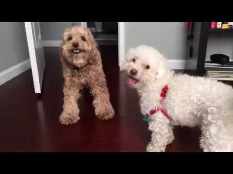 Funny Dog Wrestling Cockapoo vs Bichon
