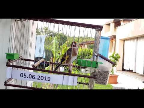 Vukadinov Pjev 5.06.2019.Chardonneret , El Jilguero,bird , Cardellino Pezzat