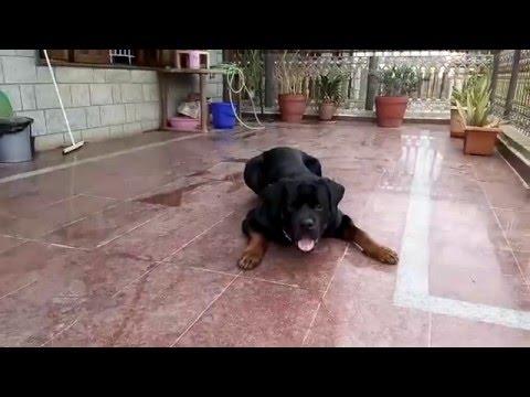 rottweiler training :- morning exercise (Sirius)