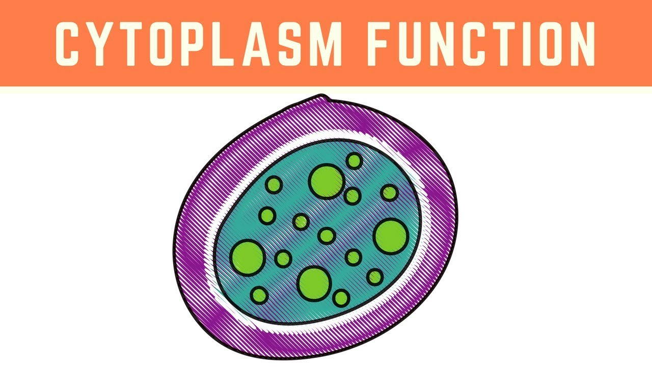 why is cytoplasm important in a cell
