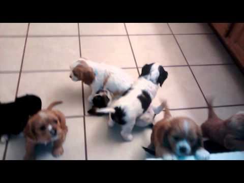 6 Weeks Old - Cavalier King Charles Puppies Crying(they Don't Want To Take A Bath!)