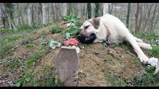 Rơi nước mắt với chú chó trung thành nằm cạnh mộ người chủ đã mất