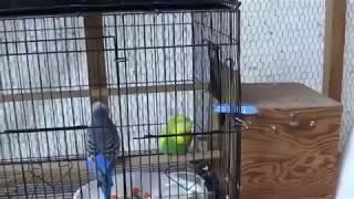 #56 2018 Breeding: a breeding experiment, part 2