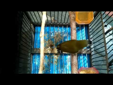Masteran Pleci Kepala Hitam - YouTube 7549d4b6df
