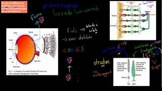 C.4.2. Rods and Cones (HSC biology)