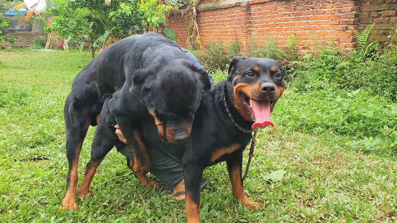 T10: Phối giống chó Rottweiler Vô Địch VN LOKI Gervi Hà Nội