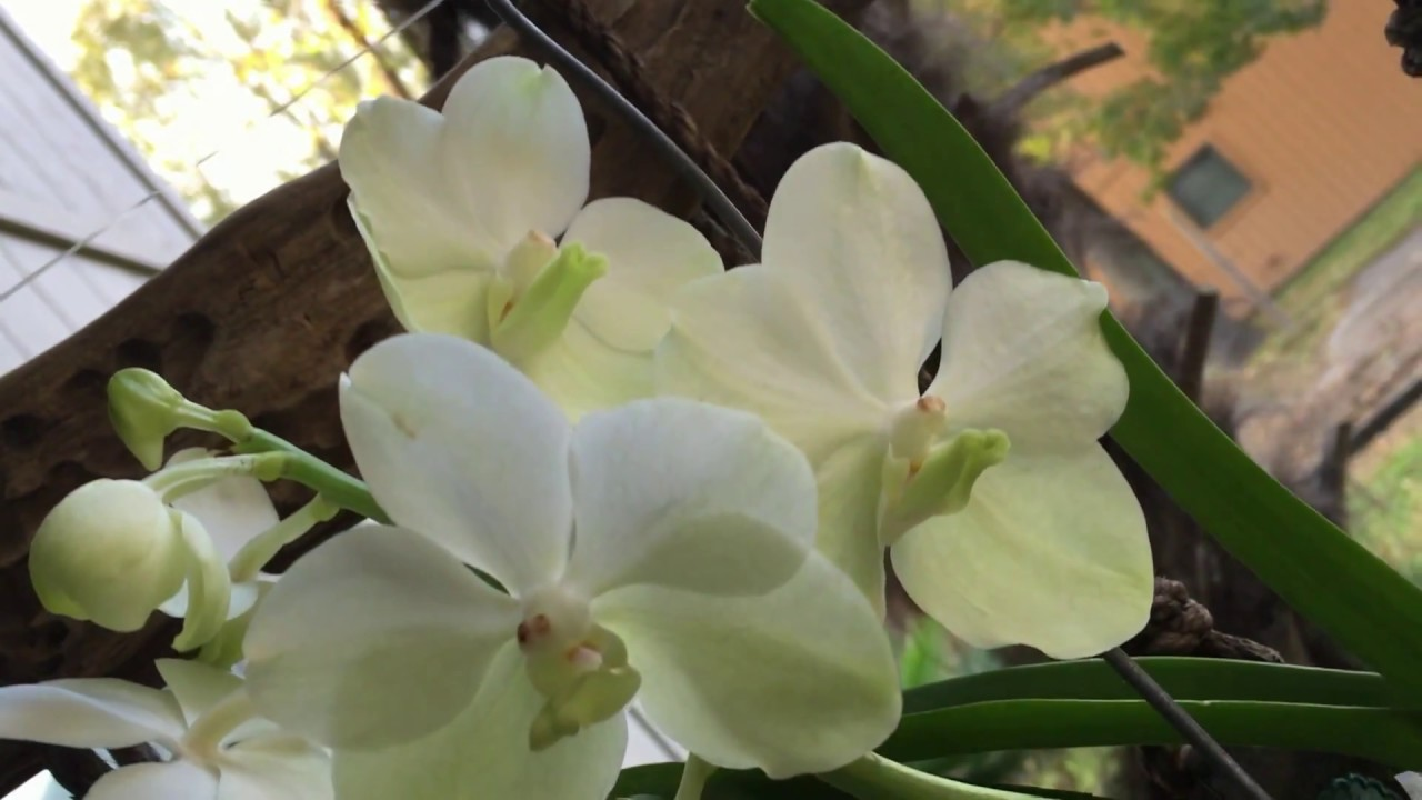 Vanda ascocenda princess mikasa white angel youtube vanda ascocenda princess mikasa white angel mightylinksfo