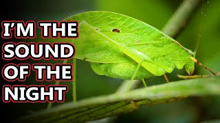 Katydid facts: called bush crickets but that's confusing! | Animal Fact Files