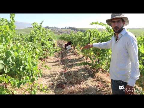First Harvest Day / Premier Jour des Vendanges / Château Kefraya