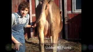 How to Show Your Dairy Heifer