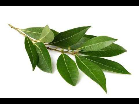 This Simple Leaf -  Cure For Rheumatic Fever, Acne and Bad Teeth
