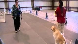 Brea Bel Canto Angela An English Cream Golden Retriever Doing Graduate Novice, Lakeland Fl 2-17-2014